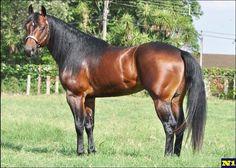 Question Walker - Bay quarter horse