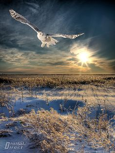https://flic.kr/p/5HSrj9   Perfect day - Journée parfaite   It was so beautiful this afternoon.. i did put my work on the side and went for some photos... This is a composite image. a nd gradient filter was use on a cokin system to dime the sky light to match the ground. The snowy owl is a composite from a shot against the sky.. My contacts can see a bigger size`, well worth it ;-)