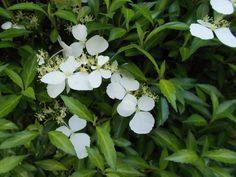 コアジサイが咲いていた! (*゚▽゚*) - ようこそ!標高1300mのナチュラルガーデンへ
