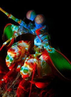 The Mantis Shrimp has the most complex eyes in the animal kingdom. While humans only have 3 color receptive cones that allow us to see color, the Mantis Shrimp has 16 color receptive cones! Imagine all the types of colors they can see! | See more about mantis shrimp, shrimp and peacock.