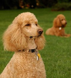 Apricot Standard Poodle. This is going to be the next dog I get.