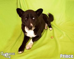 PRINCE...Akron, OHIO..What an agreeable and smart dog!  With one bright blue eye and another dark eye, his unique look will be the talk of the neighborhood!  Don't delay ... give this boy a safe home today!Note:  Please keep in mind that all adoptable pets need time to...
