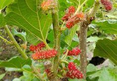 Ein Maulbeerbaum wächst am besten auf frischen Böden