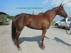 Lupicaia 2011 15.3 h liver chestnut filly | Finger Lakes Finest Thoroughbreds
