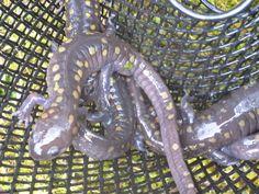 Spotted salamander at Wellington Reservation 03/12/12.
