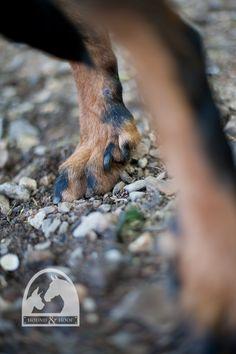 esme-4-louisville-dog-portrait1 - Beauceron dewclaws <3