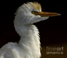 Title:  Cattle Egret  Artist:  Anne Rodkin  Medium:  Photograph - Photography