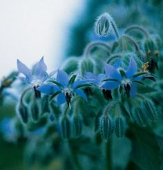 Buy Borage Seeds for an Edible flower with mild cucumber flavor. Large plants bear hundreds of small edible flowers, mostly blue and some pink.