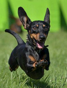 it's flying! #dachshund, #doxies