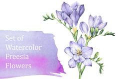 Set of Watercolor Freesia Flowers - Illustrations - 1