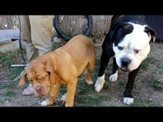 American Bulldog being patient with playful puppy - http://www.baubaunews.com/bau-blog/american-bulldog-being-patient-with-playful-puppy/ http://img.youtube.com/vi/btLbv38BPd8/0.jpg