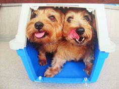 Norfolk Terrier Norfolk Terrier, Norwich Terrier, Bichons, Westies, Terriers, Dog Love, Best Dogs, Happy, Terrier