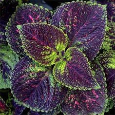 Photo: Rufino Osorio | thisoldhouse.com | Coleus is a tropical perennial with colorful leaves of yellow to purple.
