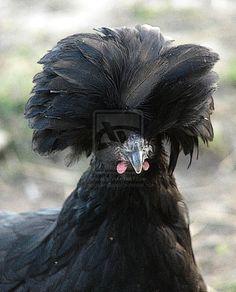 Black Polish Hen by angelandspot.deviantart.com on @deviantART