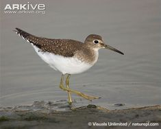 eastern sandpiper - Google Search