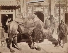 Chameau chinois, Pékin, ca. 1880. Tirage albuminé monté sur carton. 18,9 x 24 cm