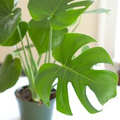 House Plants -Philodendron (AKA the trendy delicious monster) Perfect as a hanging plant or potted and it requires very little TLC, give it a little water and indirect sunlight and it will bloom beautifully.
