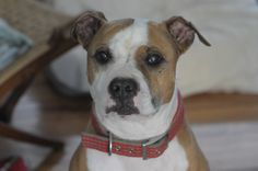 Sam is looking for his forever home.  Handsome, 5 yrs old, gentle with small children, sweet as honey and dog friendly :D
