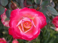 "Essential Oil Profiles: Rose Otto~~""Peaceful Goddess"""