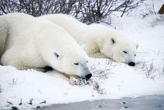 Close-up of two polar bears laying in the snow.