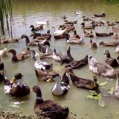 Divlje patke (26)
