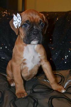 So DogGone Funny!: 16801 - Adorable Little Girl Boxer | puppy, adorable, cute
