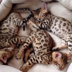 OMG some of the most stunning kittens I have ever seen...