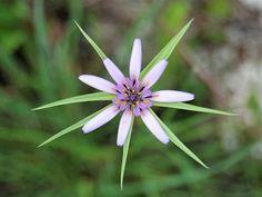 Tragopogon hybridus