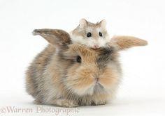 Cute baby bunny and Roborovski Hamster