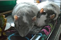 It's very hot out and the rats are trying to stay cool because it is so stuffy upstairs in my room by laying on the granite slab in the cage :)