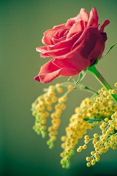 ~~ rose by SuperGiovane  ~~
