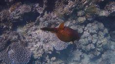 Soma Bay . Robinson Ägypten 2015. Wunderschöne rote Kugelfisch. Schnorch... Robinson Club, Kugel, Pets, Pisces, Nice Asses, Animals And Pets