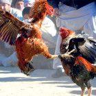 Pengertian Dan Penjelasan Judi Sabung Ayam