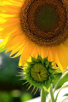Love sunflowers - they are like natures smile