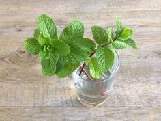 If you are looking for How to grow mint from cuttings gardening for beginners you've come to the right place. We have collect images about How to grow mint from cuttings gardening for beginners including images, pictures, photos, wallpapers, and Growing Mint, Growing Ginger, Growing Herbs, Growing Vegetables, Plants Grown In Water, Water Plants, Peppermint Plants, Mother Plant, Home Vegetable Garden