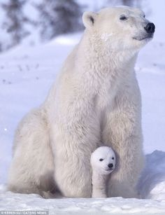 Playful polar bears have fun with mum as they frolic in the snow