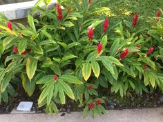 Red Ginger (alpinia purpurata): This is an ornamental ginger, prized for its elongated foliage and blooms typically in late summer with reddish bracts. At maturity will grow to about 9-12 ft. tall and 2-3 ft. wide. Grows from rhizomes and does best in light shade, protection from wind, and ample water. Endemic to the Pacific islands, for prolific blooms remove the canes that have flowered.