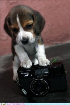 Beagle puppy wants to know how this camera works