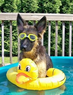 This German shepherd has a very summer 'tude.