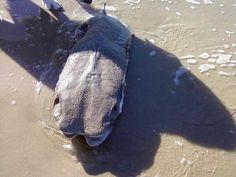 Mysterious creature washes ashore in Japan