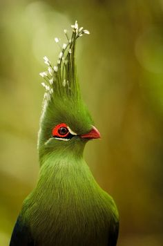 This beautiful bird is called a Knysna Turaco and can be found in South Africa