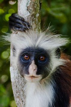Kirk's Red Colobus, by Hector16