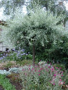 "pyrus-salicifolia-pendula ""Weeping silver pear"""