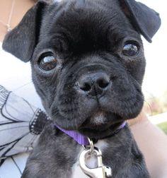 A Bugg - Boston Terrier/Pug cross