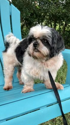 Shih Tzu Rescue | Available Dogs for Adoption Schnoodle Puppies For Sale, Schnoodle Puppy, Yorkie Puppy, French Bulldog Puppies, Dogs And Puppies, Doggies, Shih Tzu Rescue, Chihuahua Rescue, Shih Tzu Dog