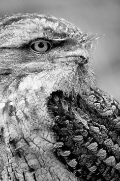 Tawny Frogmouth by Stephen A. Wolfe, via Flickr