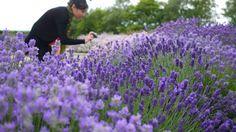 Go Gardening Helping New Zealand Grow Garden Inspiration Tips And Advice From The Zealandlavenderadviceplantplantslavandula Angustifolia