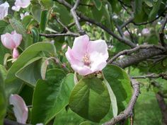 Quinces in blossom. Grown in Somerset, our Quince Cheese is the perfect addition to your cheeseboard Quince Fruit, Fruit Preserves, Somerset, Cheese, Flowers, Florals, Flower, Bloemen
