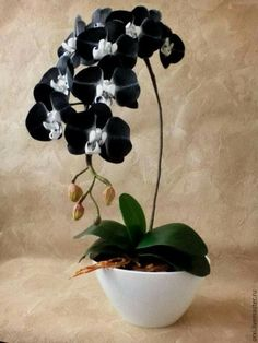 Excellent Photo black Orchid Flower Suggestions Have you got a lovely orchid in your own home that you aren't quite positive exactly how to maintain?