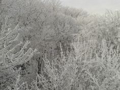 all trees are snowy